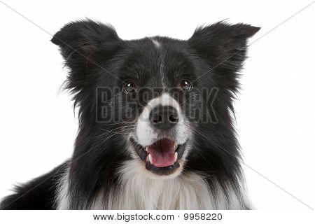 Border Collie Sheepdog