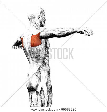 Concept or conceptual 3D back human anatomy or anatomical and muscle sketch isolated on white background poster