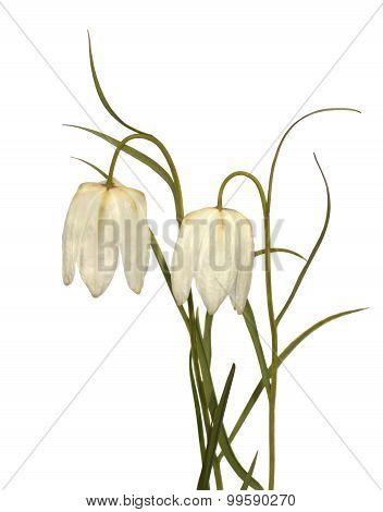 Fritillaria Flowers