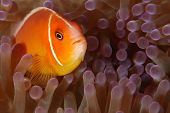 A common clown fish seen while diving in Palau poster