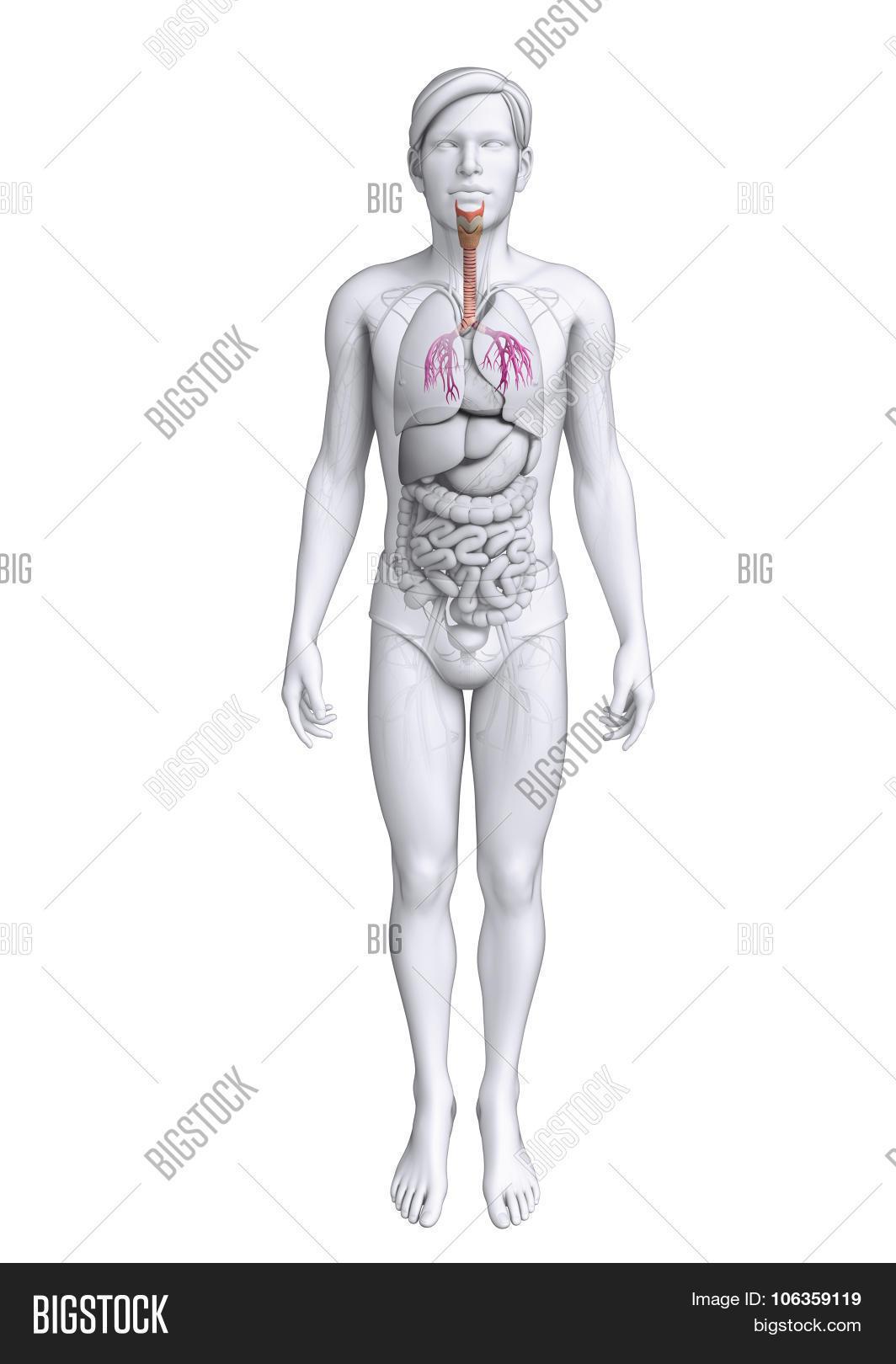 Male Throat Anatomy Image Photo Free Trial Bigstock