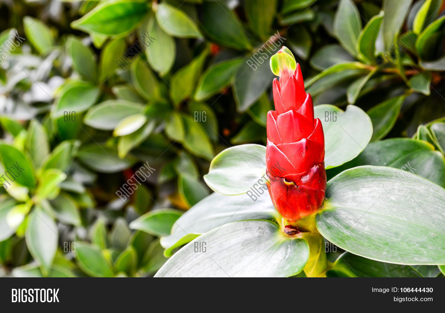White Ginger Flower Image Photo Free Trial Bigstock