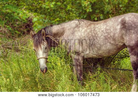 a Image tethered horse grazing in a grove poster