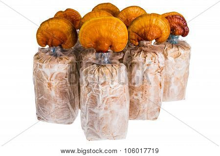 Lingzhi Ganoderma Lucidum Isolated On White. Chinese Traditional Medicine.