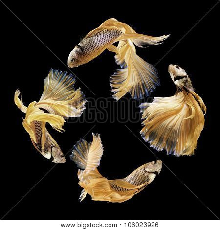 Betta Fish, Siamese Fighting Fish Isolated On Black