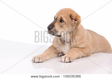 Little Dog Isolated Over White Background