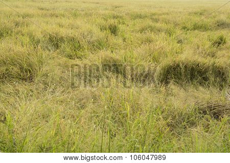 rice field crop barn Thai argriculture farm harvest golden poster