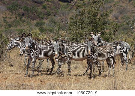 Grevy's Zebra herd