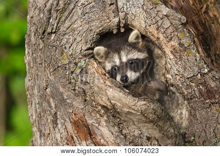 Young Raccoon (procyon Lotor) Turns In Knothole