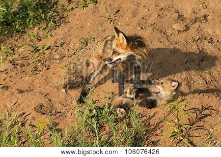 Red Fox Vixen And Kit (vulpes Vulpes) On Embankment