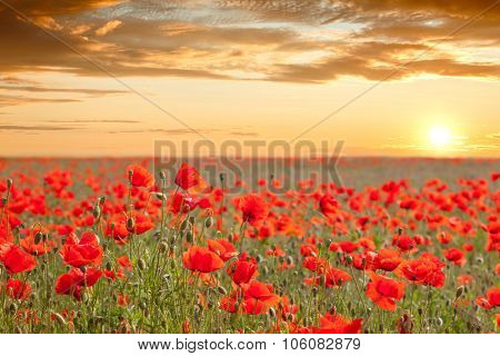 Beautiful poppy field landscape with golden sky, sun and clouds - sundown time