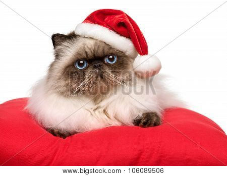 Cute Christmas Persian Colourpoint Cat In A Santa Hat