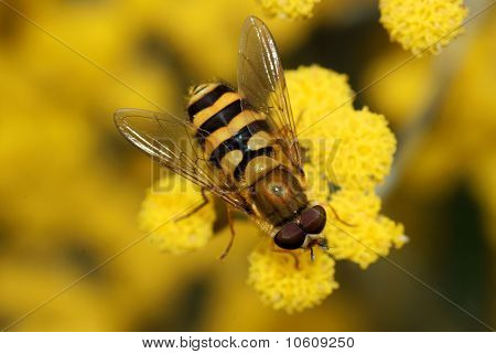 Close Up Of A Hoverfly On A Yellow Flower