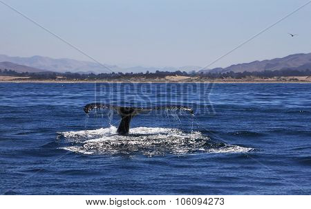 Humpback Whale Tail in Morro Bay