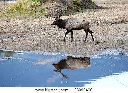 Bull Elk Reflection