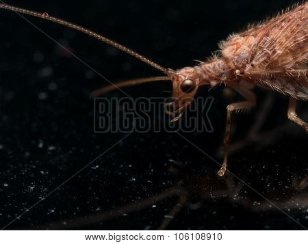 Close Up Portrait Of Brown Lacewing (micromus)