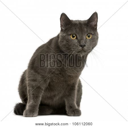 Chartreux in front of white background