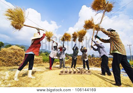 Rice grain threshing during harvest time in northern Thailand.