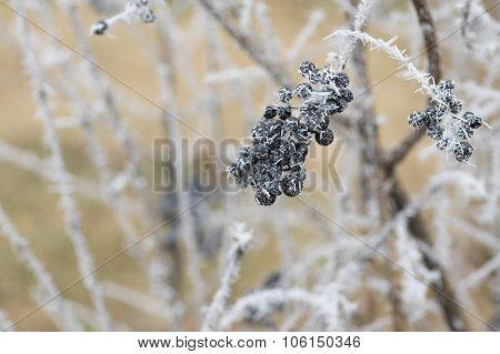 Black berries of a privet flowering plant under frost attack in the garden