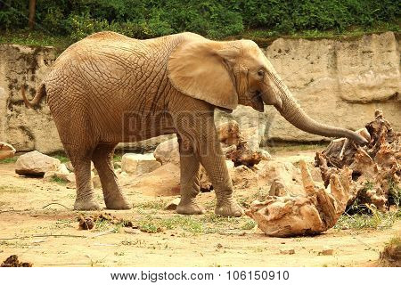 Old African Elephant Female Standing On Sand And Groping With Trunk
