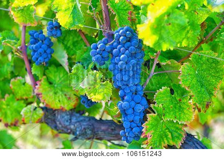 Big Cluster Of Blue Grapes On A Branch Close Up