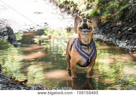 Dog In A Puddle