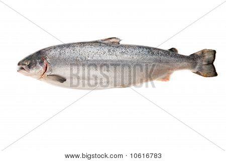 Fresh big salmon. Isolated on white background poster
