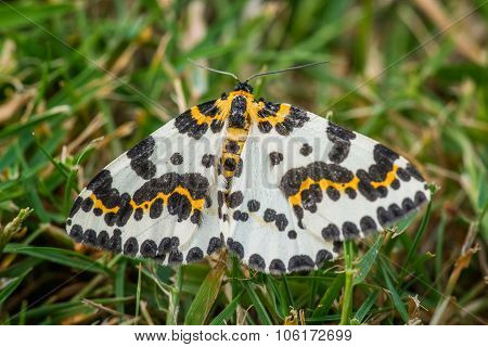 Abraxas Grossulariata Butterfly In The Grass
