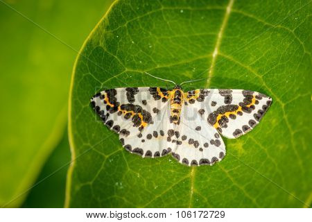 Abraxas Grossulariata Butterfly On A Large Leaf