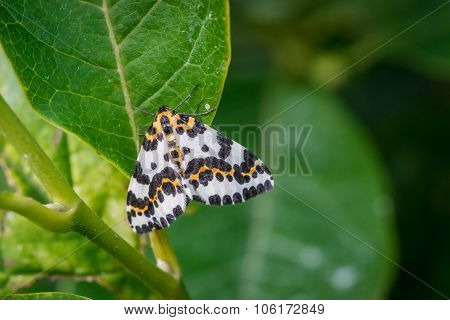 Harlekin Butterfly In A Green Garden