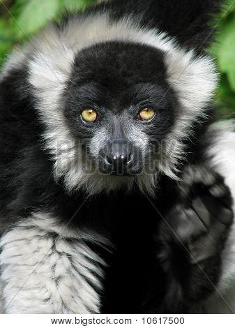 Ruffed lemur with raised paw