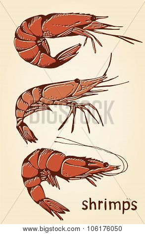 Shrimp Hand Drawn Collection