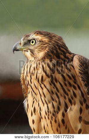 Eurasian Sparrowhawk Closeup