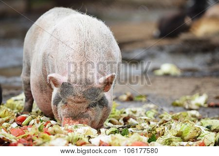 Pigs  In  Zoo