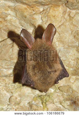 Bechstein's bat (Myotis bechsteinii) sleeping in cave poster