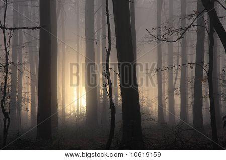 Misty morning woodland