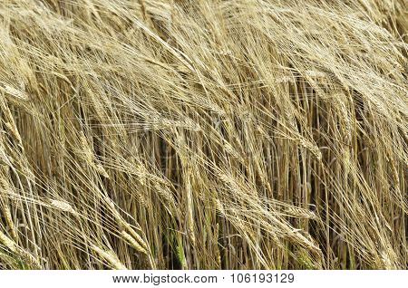 Ripe Rye Swaying In The Wind