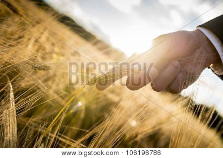 Closeup Of Male Hand In Elegant Suit Holding A Ripening Golden Wheat Ear