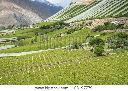 Vineyards Of The Elqui Valley, Andes, Chile