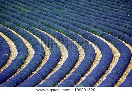 Valensole: Fields Of Lavender