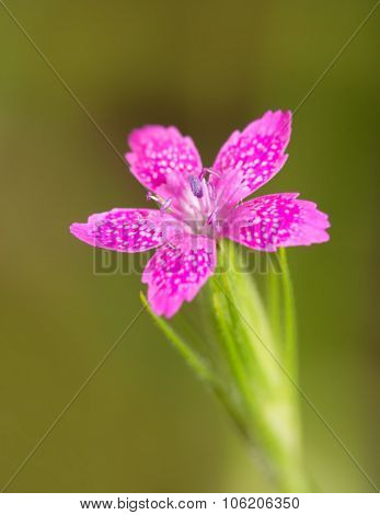 Tiny Deptford Pink, a delicate wildflower