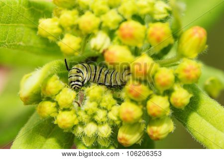 Very young Monarch caterpillar eating on Milkweed buds, nestled inside the floret