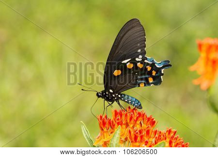 Pipevine Swallowtail butterfly feeding on an orange Butterflyweed, with a green summer background