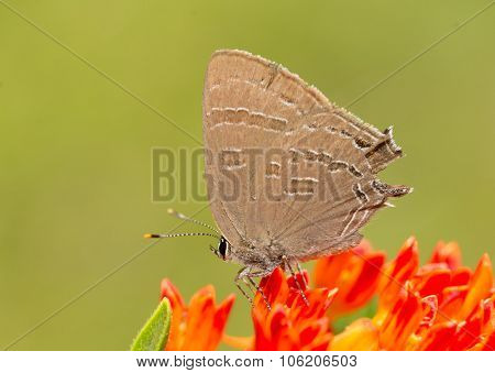 Satyrium caryaevorus, Hickory hairstreak butterfly feeding on an orange Butterflyweed