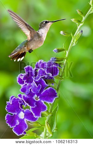Hummingbird With Purple Flower Over Green Background