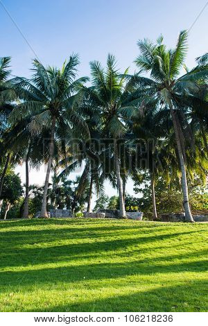 Greensward And Coconut Trees In The Garden