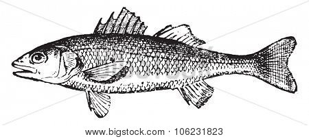 European seabass, vintage engraved illustration. Dictionary of words and things - Larive and Fleury - 1895.