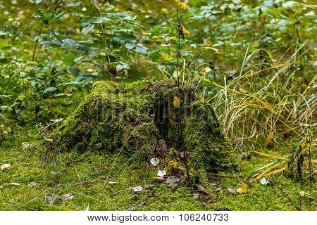 Stump In Forest