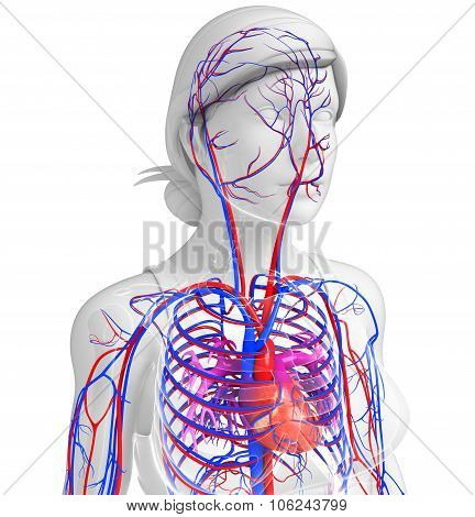 Female Heart Circulatory