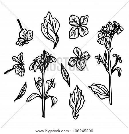 Radish Flowers, Sketch, Black Contour On White Background. Vector